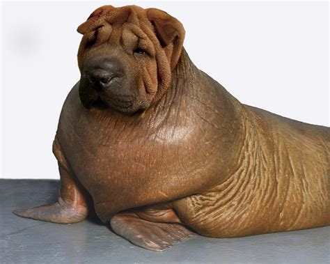walrus puppy walrus shar pei by fritzfries on deviantart