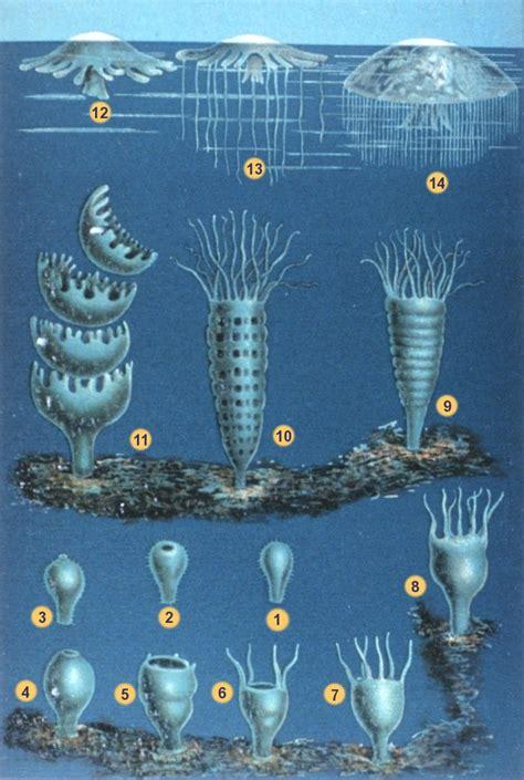 quallen le file schleiden meduse 2 jpg wikimedia commons