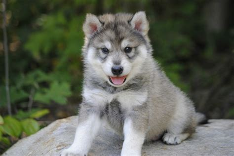 tamaskan puppies tamaskan wolf on wolf dogs husky and wolves
