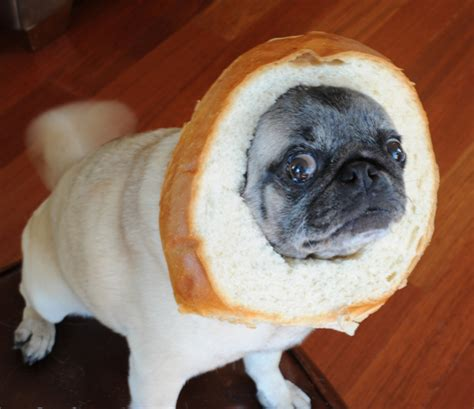 pug bread the mane event