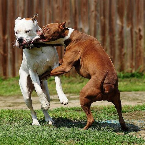 pitbull show how to stop pitbulls when they are fighting viral fancy