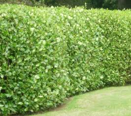 Evergreen Foliage Plants - green is the new black evergreen hedging best4hedging