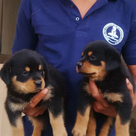 how to care for a 6 week puppy how to feed and care for a puppy pets nigeria