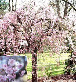 cherry tree growth rate weeping yoshino cherry tree