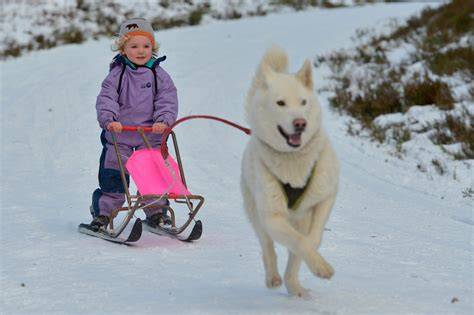 how to a to pull a sled huskies pulling sled images