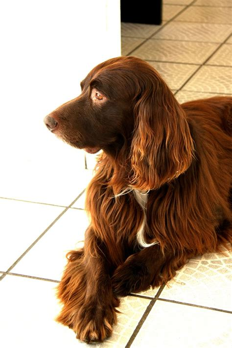 setter dog short hair 25 best images about irish setter and german long haired