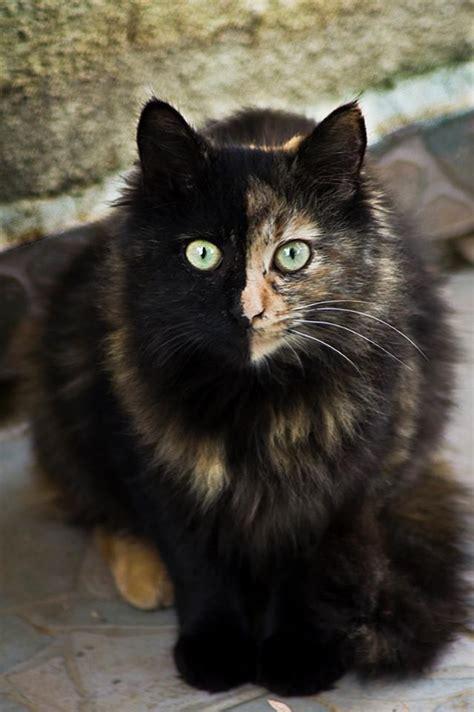 circling in dizziness tortoiseshell cat