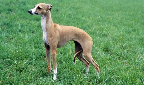 mini greyhound puppies italian greyhound breed information