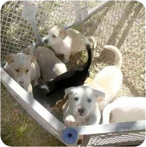 puppies for adoption fort worth puppies adopted puppy dallas fort worth tx siberian husky mix