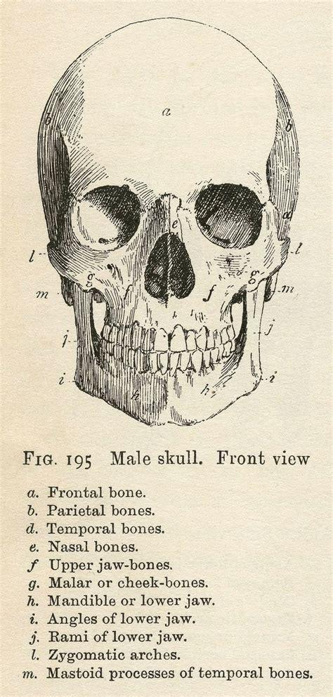 vintage anatomy clip art bones amp skull halloween the