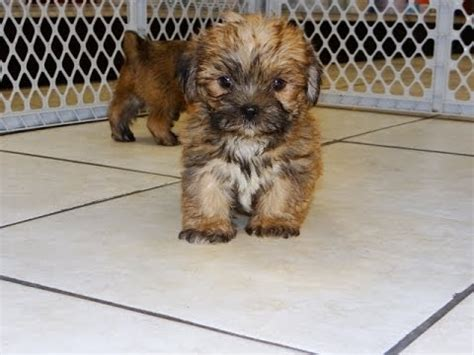 yorkie puppies lubbock tx yorkie poo puppies houston breeds picture