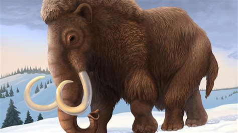 wooly mammoth ice age why did the woolly mammoth die out national geographic