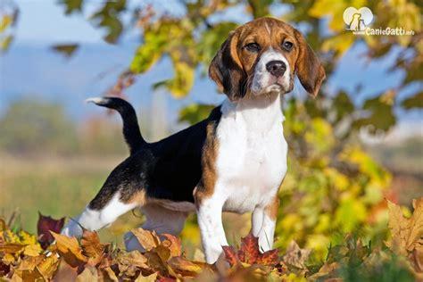 beagle alimentazione beagle carattere alimentazione caratteristiche