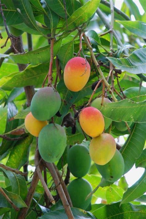 mango tree with fruits ripe mango trees ripe mangos in the tree yweb portfolio