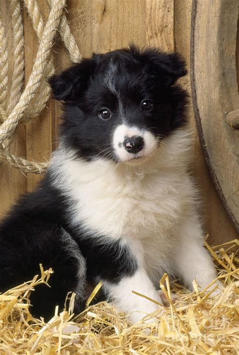 images of border collie puppies border collie puppy photograph by
