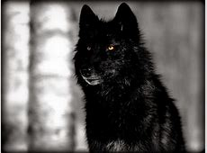 White Wolf : Stunning Photographs Showcase the Beauty of ... Growling Black Wolf With Yellow Eyes