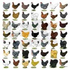Backyard Building Ideas Best 25 Chicken Breeds Ideas On Pinterest Hens Chicken