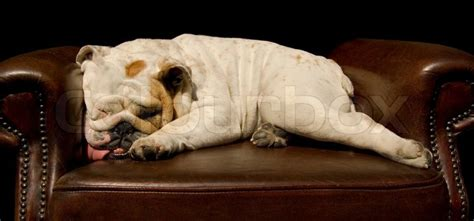 dog sleeping on couch wrinkled bull dog sleeping on an english couch stock