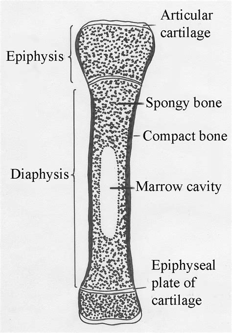 longitudinal section of a long bone lec25