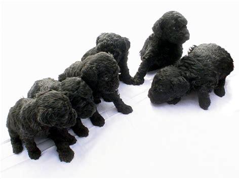 black poodle puppies miniature poodles at the milk honey farm