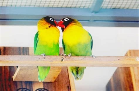 Tepat Jodohin Lovebird cara sukses berternak burung lovebird peluang usaha untuk