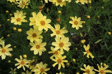 coreopsis verticillata creme brulee attracts butterflies and hummingbirds deer resistant this