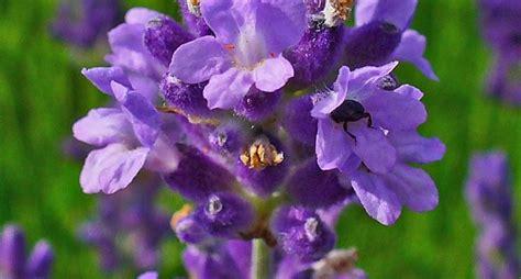 fiori in inglese lavanda inglese piante da giardino lavanda inglese