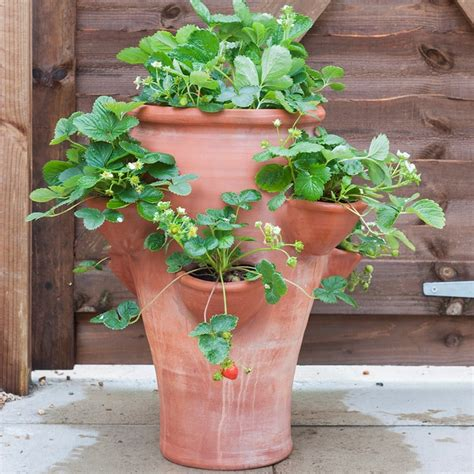 buy terracotta strawberry planter delivery  crocus