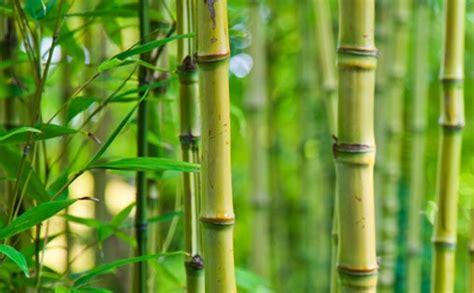 berkembang biak bambu referensi bebas