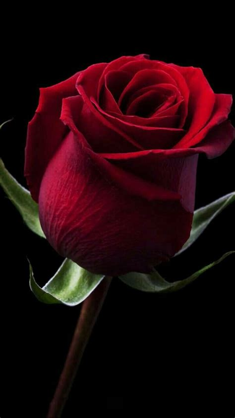 imagenes de flores solitarias pin de carolina cruz en rosas hermosas pinterest rosas
