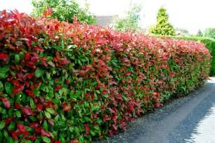 Evergreen Climbing Plants For Screening - how to use photinia for a hedge fast growing evergreens spring and front yards