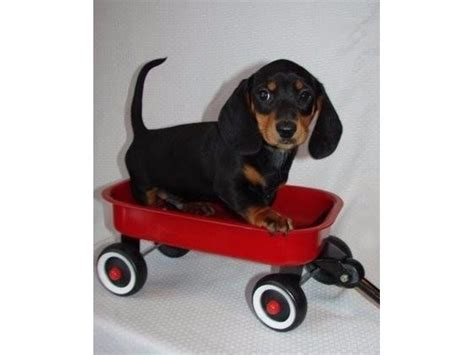 puppies for sale in huntington wv miniature dachshund puppies for sale animals huntington west virginia