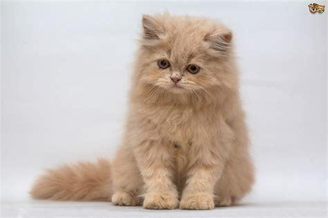 cat breed the uk s top 10 most popular cat breeds pets4homes