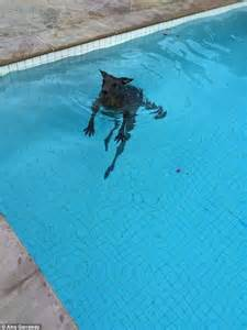 Biggest Backyard Pool In The World Video Of A Kangaroo Caught Taking A Morning Swim In A