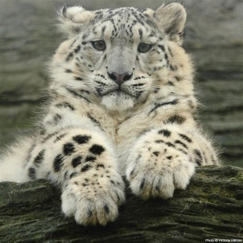 saving the snow leopards big cat rescue save the snow leopard the animal rescue site