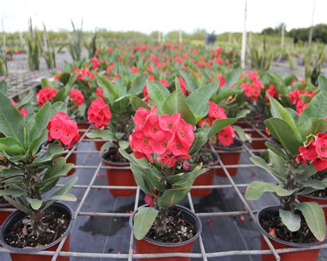 Plantfiles pictures euphorbia crown of thorns christ plant siamese lucky plant kru