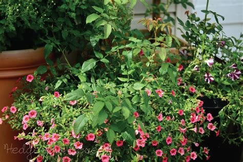 Annuals For Planters by Some Suggestions For Growing Roses In Containers