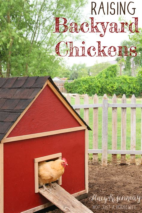 raising backyard chickens raising backyard chickens stacy risenmay