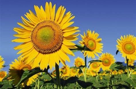 Bunga Matahari Sunflower mewarnai gambar bunga matahari abi