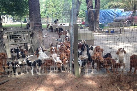 missouri puppy mills fundraiser by wilk cavalier puppy mill auction rescue