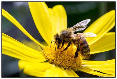 fiori e api www mscfoto it leggi argomento api false api e fiori