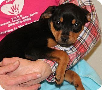 rottweiler puppies for sale cheap pin cheap rottweiler puppies for sale 872 decksscom on