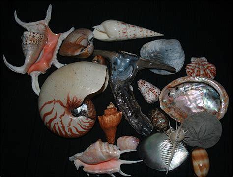 Fantastic Abalone Shell Kerang Laut file shells of marine mollusc1 jpg wikimedia commons