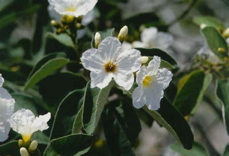 Home Design Florida Wild Olive Tree Selection Landscape Plants Edward F