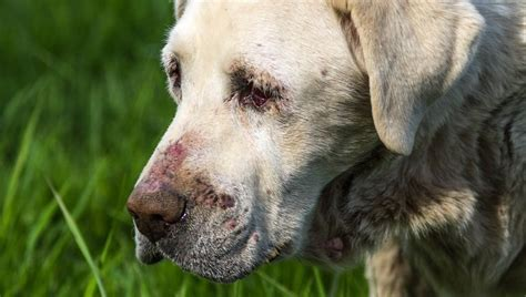 vasculitis in dogs cutaneous vasculitis in dogs symptoms causes treatments dogtime