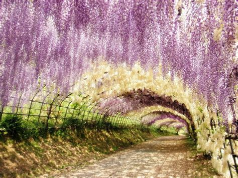 wisteria flower tunnel japan purple flowering paradises place time purple japan