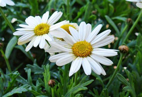 margherita fiore descrizione scelte per te giardino fiore margherita