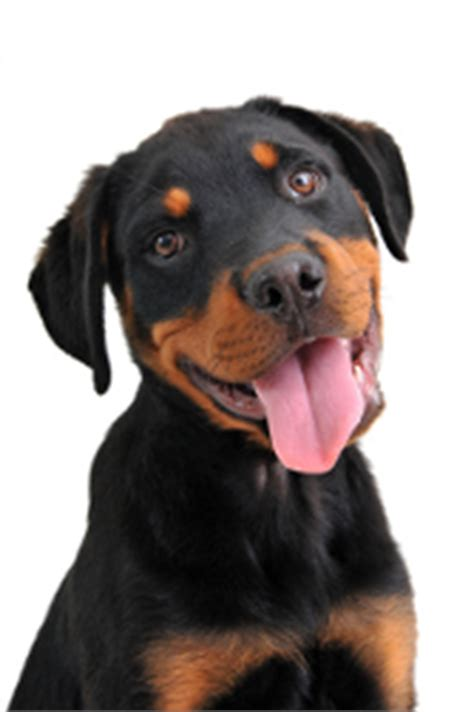 rottweiler biting how to stop how to stop puppy biting a of rottweilers