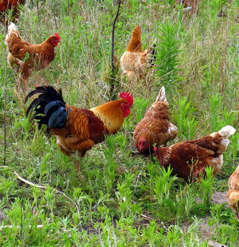 Chicken Garden by Keeping Chickens In Your Garden Sa Garden And Home