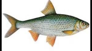 le poisson les poissons d eau douce